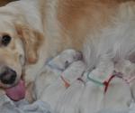 Citronella Made Prima Santolina with puppies