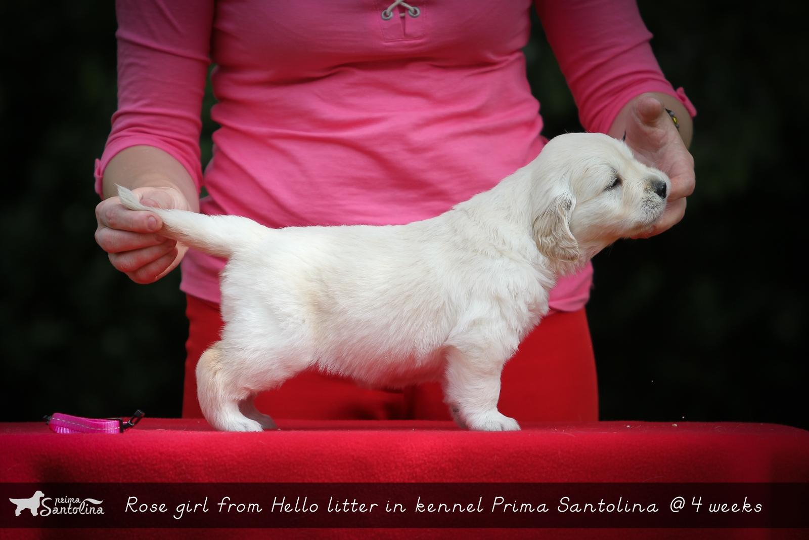 Hello litter in golden retriever kennel Prima Santolina