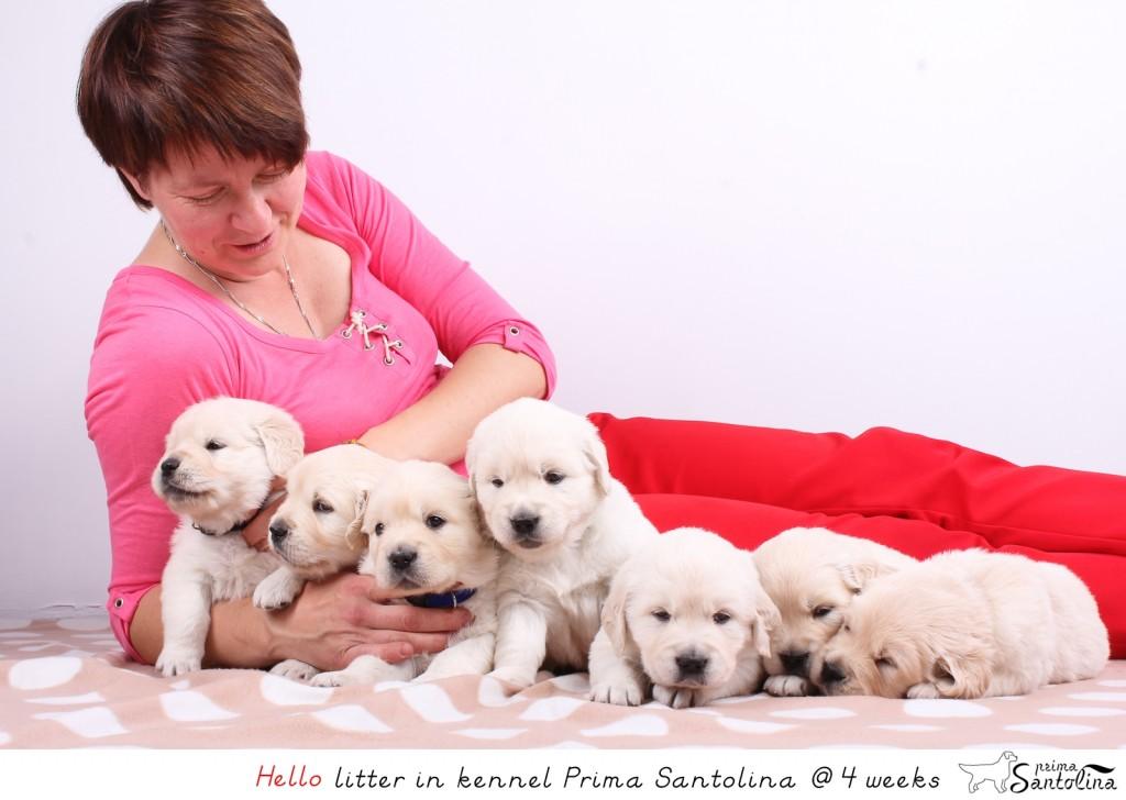 Golden retriever puppies of Dewmist Rainbow Warrior and Citronella Made Prima Santolina
